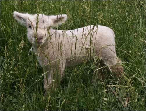 Babydoll Southdown Sheep lamb