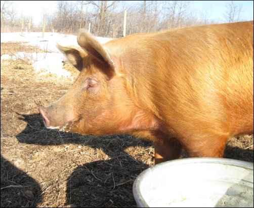 raising Pastured Pigs homesteading