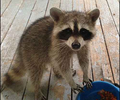 raccoons, We're Being Mugged by Mother Nature, raccoons are getting into my trash