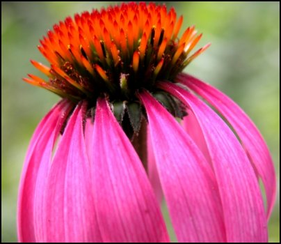 echinacea, coneflower, medicinal herbs, homesteading