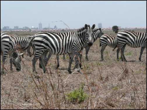 Sudan zebra