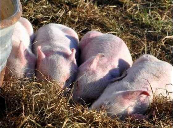 pigs sleeping, Finding Community on the Homestead, homesteading