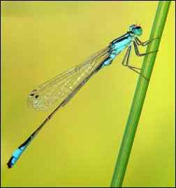 attracting beneficials, attract beneficial bugs, garden good guys, damselfly