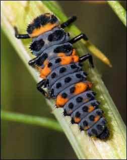 attracting beneficials, attract beneficial bugs, garden good guys, ladybug larve
