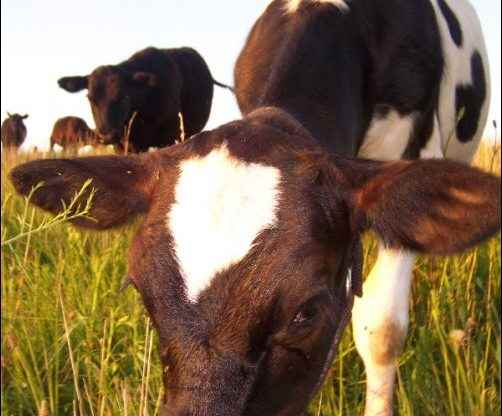 Beginner's Guide to Buying Cattle, what makes a good cow, homesteading, homestead