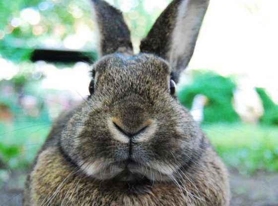 raising meat rabbits, homesteading, homestead. homestead.org