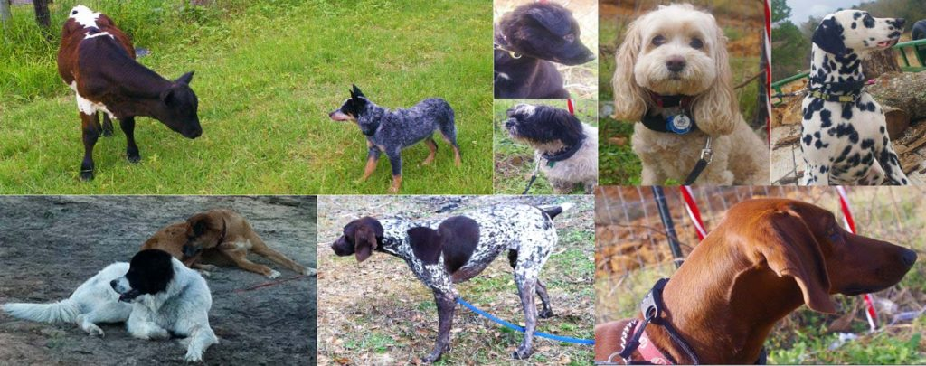 Homesteading Guide to Farm Dogs