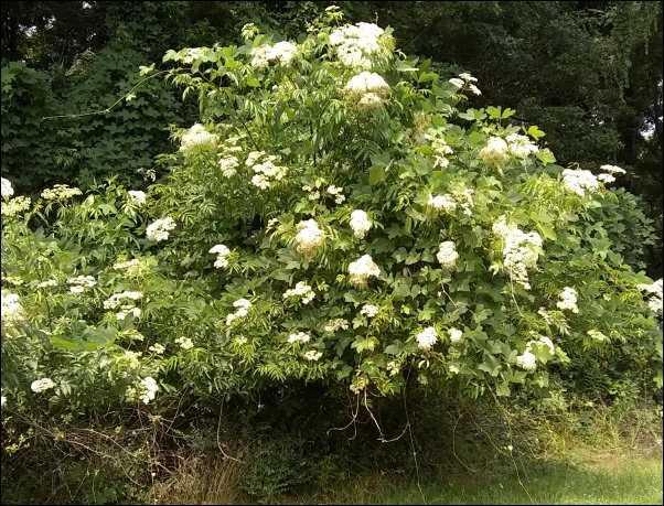 Edible Landscape Additions Elderberries Goji Berries On The