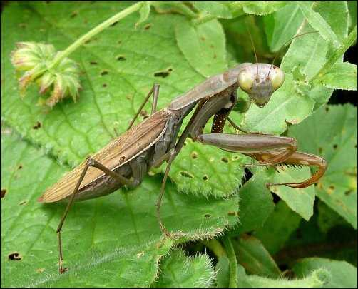 Preying mantis beneficial bugs