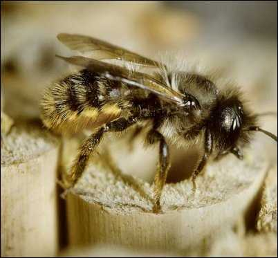 Orchard mason bee beneficial bugs