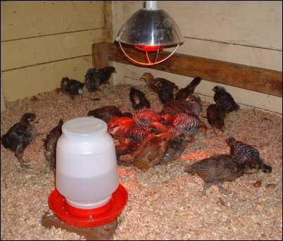 chicks chickens