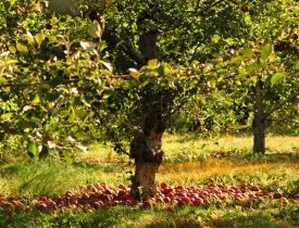 Johnny Appleseed apples