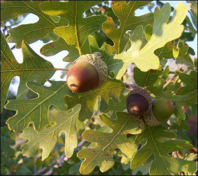 acorns gathering wild nuts