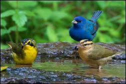 Left to Right: & Kentucky Warbler (male), Indigo Bunting (male) & Worm-eating Warbler