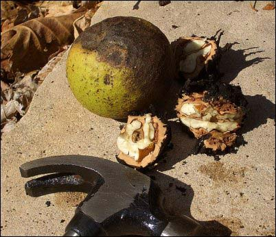 gathering wild nuts walnut