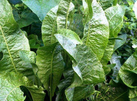 growing horseradish alternative crop homesteading
