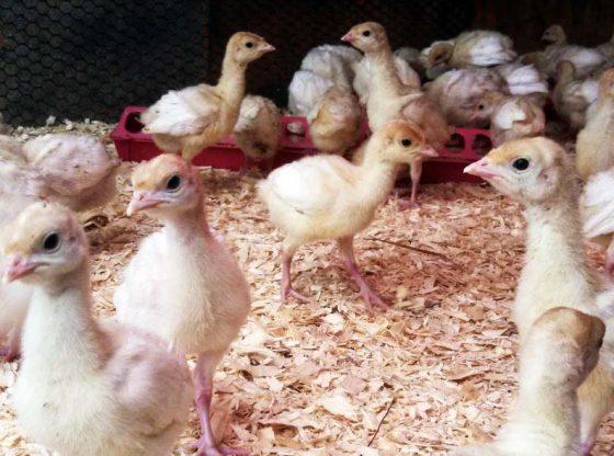 Heritage-turkey-egg-hatching homesteading