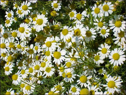 chamomile flowers, chamomile growing tips, facts about chamomile, chamomile fun facts, chamomile history, homesteading