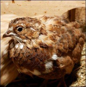 Raising Coturnix Quail on the Homestead, incubating quail eggs, hatching quail eggs, raising quail, quail chicks, homesteading