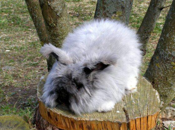 raising Angora-rabbit-wool
