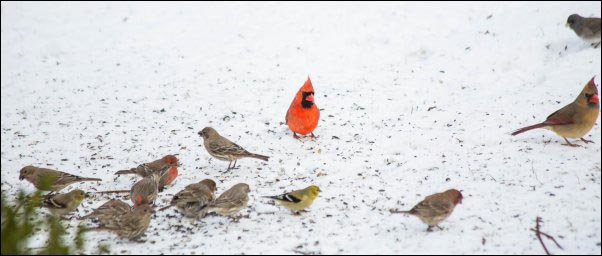 Northern Cardinals and various finch varieties., colorful birds eating in snow, Becoming a Certified Wildlife Habitat, homesteading, homestead, creating Wildlife Habitat