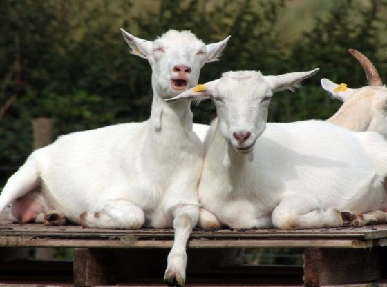 dairy goats, starting a micro-creamery; operating a micro-creamery; niche farming opportunities; start a micro-creamery, selling dairy products,homesteading