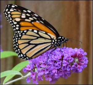 Monarch butterfly on purple flowers, milkweed tussock caterpillar, Growing a Butterfly Garden, Host Plants to Attract Butterflies, Attracting butterflies with host plants, raising butterflies for profit, homesteading, homestead