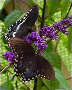 Black swallowtail butterflies enjoying nectar, Growing a Butterfly Garden, Host Plants to Attract Butterflies, Attracting butterflies with host plants, raising butterflies for profit, homesteading, homestead