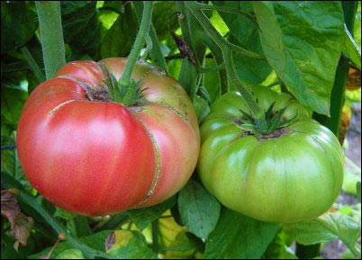 By embracing the Rutgers tomatoes and Brandywine tomatoes, we have, it seems, accidentally stumbled upon the best tomatoes to grow on the homestead, homesteading