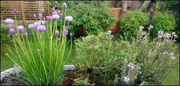 chives-rosemary-thyme-container-herbs, Make MoneyWithSpecialty Herbs and Cut Flowers, make money with specialty herbs, cut and come again flowers, make money with herbs, start an herb business successful cut flower business, homesteading, homestead