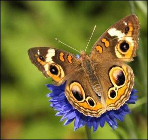 The common buckeye's eyespots are quite deceiving to predators. Growing a Butterfly Garden, Host Plants to Attract Butterflies, Attracting butterflies with host plants, raising butterflies for profit, homesteading, homestead