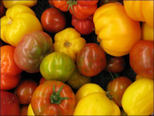 best tomatoes to grow on the homestead, homesteading heirloomtomatoes, Rutgers tomatoes, Brandywine tomato