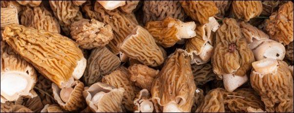 bunch of morel mushrooms, Hunting Morels, Foraging for Morel Mushrooms, morel mushrooms, how to find morels, morel hunting for beginners, homesteading, homestead