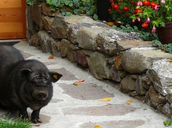 selling potbellied pigs as pets on the homestead, Potbellied Pigs for meat, homesteading