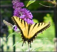 tiger swallowtail butterflies enjoying nectar, Growing a Butterfly Garden, Host Plants to Attract Butterflies, Attracting butterflies with host plants, raising butterflies for profit, homesteading, homestead