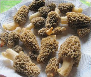 washed morel mushrooms, Hunting Morels, Foraging for Morel Mushrooms, morel mushrooms, how to find morels, morel hunting for beginners, homesteading, homestead, Can I Grow My Own Morels
