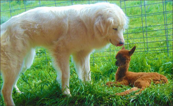 Livestock-Guardian-dog-with-baby-alpaca