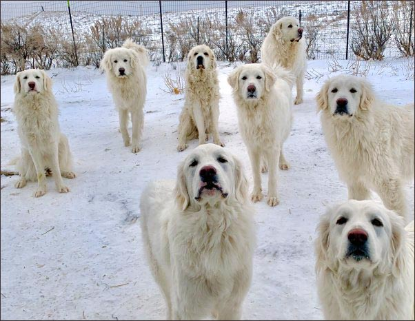 great pyrenees akbash, Using Dogs to Help Around the Homestead, using dogs to haul, using dogs to do chores, using a dogsled on the homestead