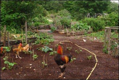 Chickens in the garden, Basics of Biodynamic Gardening, homesteading, homestead