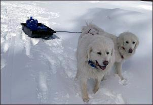dogs-hauling-water-in-snow, homesteading-with-dog