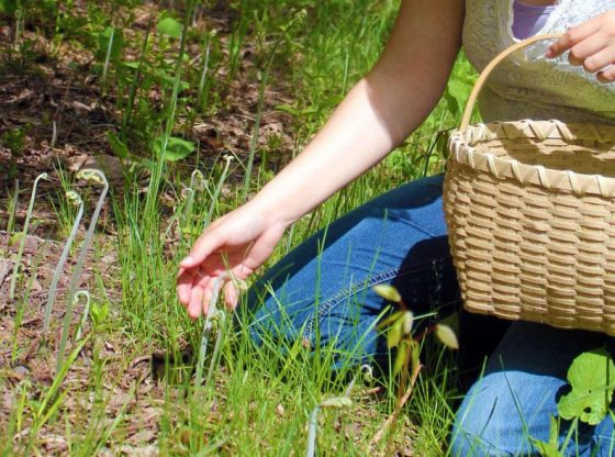 Early Spring Wild Edibles, forage for wild edibles, Forage for Early Spring Wild Edibles, go foraging, homesteading, homestead