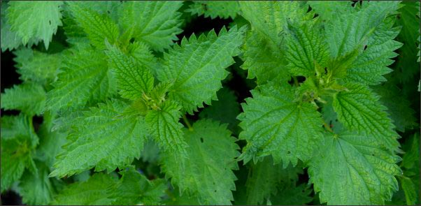 nettle, Early Spring Wild Edibles, forage for wild edibles, Forage for Early Spring Wild Edibles, go foraging, homesteading, homestead