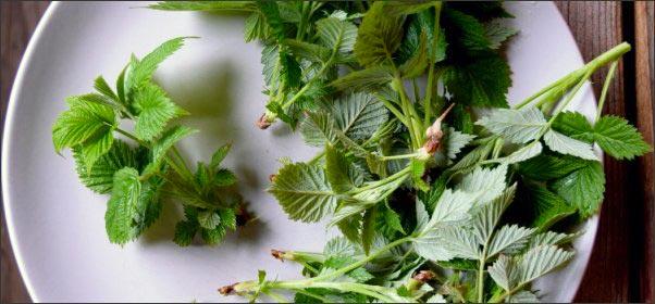 raspberry-leaf, Early Spring Wild Edibles, forage for wild edibles, Forage for Early Spring Wild Edibles, go foraging, homesteading, homestead