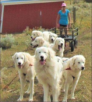 livestock guardians-pulling sled, homesteading-with-dog
