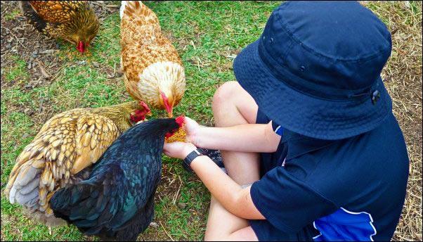 child feeding chickens, raising kids in the country, country kids, raise country kids,keeping country kids safe around guns, kid friendly chickens, homesteading, homestead