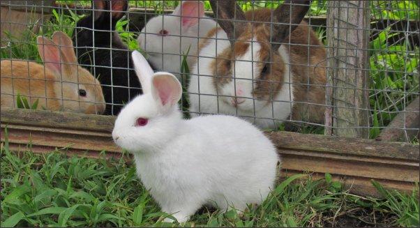 rabbit farming, rabbit farming on a small scale, raising rabbits, meat rabbit breeds, fiber rabbits, homesteading, homestead