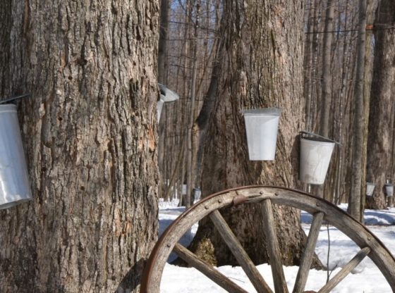 How to Make Small-batch Real Maple Syrup, maple tapping, maple sugaring, make maple syrup, homesteading