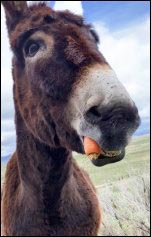 donkey eating a carrot