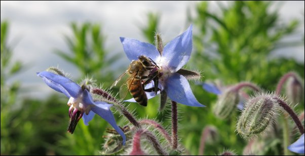 borage make great additions to food forest layer