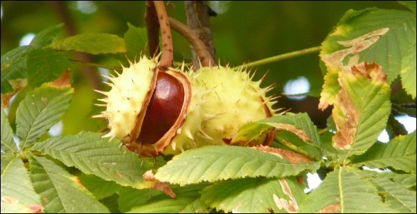 chestnut trees make great additions to the canopy food forest layer